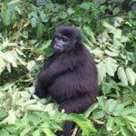 Uganda, gorilla trek